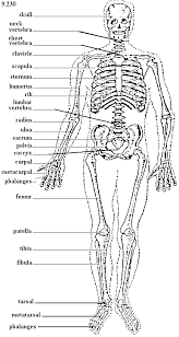 Shoulder Bone Anatomy Diagram Bone Archives Page 3 Of 9 Human Anatomy Chart