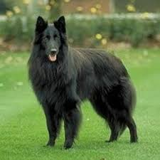 belgian sheepdog art 77 best belgian sheepdogs groenendael images on pinterest