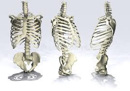 rib cage stock illustration illustration of shoulders 20565486