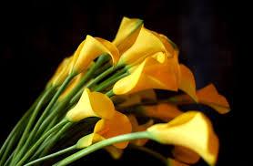 yellow calla yellow calla lilies hd 21031 2550x1670 px hdwallsource
