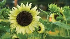 teddy sunflowers teddy sunflower seeds and plants annual flower garden at