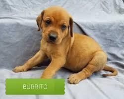 bluetick coonhound breeders ohio adopt carolina coonhound rescue