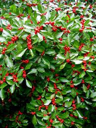shade gardens ilex verticillate red sprite at carolyns shade