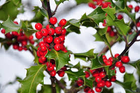 identifying male and female holly bushes