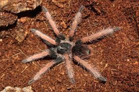 doritos a week after molting phobeteus sp solaris tarantulas