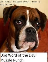 boxer dog mean dog behavior muzzle punch daily dog discoveries