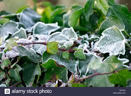 hedera ivy ivies climbing ground creeping evergreen woody plants