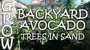 Backyard Soil How To Grow Backyard Avocados In Sandy Soil Youtube