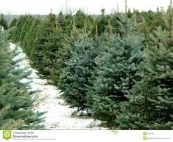 christmas season christmas tree farm fascinating images