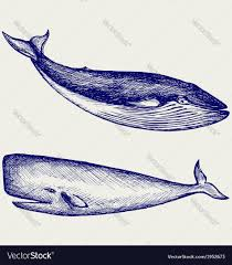 the humpback whale royalty free vector image vectorstock