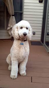 best 25 poodle cuts ideas on pinterest poodles standard
