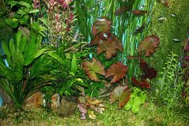 Aquarium Tropical Plants Live Plants In Aquariums Are Essential To Aquariums