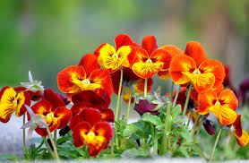 pansy flowers in bloom in the garden wallpapers and images