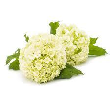 white hydrangea hydrangea white flower moxie