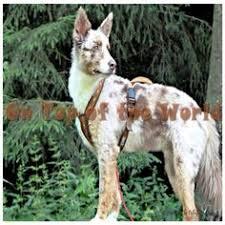 australian shepherd mit 6 monaten hund mischling mischling rüde 6 monate in regebsburg bayern