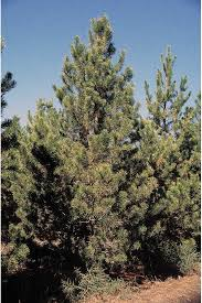 pines cedars junipers and other conifer tree seeds from around the