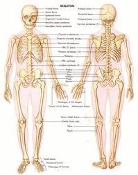 The Human Anatomy Muscles Quadriceps Muscles Group 1 Rectus Femoris 2 Vastus Medialis 3