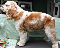 bichon frise good and bad pet grooming the good the bad u0026 the furry puppy cut on a