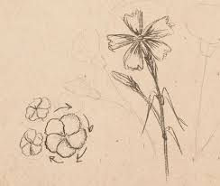 how to draw carnations