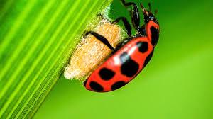 wasp virus turns ladybugs into zombie babysitters science aaas