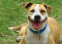 american pitbull terrier jaw 7 pit bull facts every dog lover should know rover com
