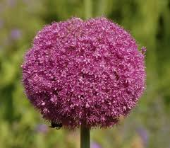 allium flowers file allium pink flower 2236px jpg wikimedia