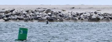 cape gray seal population estimated at up to 50k news