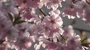 beautiful spring cherry blossom flowers blooming in spring nature
