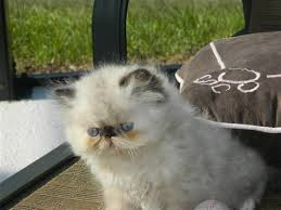affenpinscher puppies for sale in ohio kittens for sale kittens classifieds for sale page 8 petsale inc