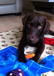 six month labrador your puppy questions answered