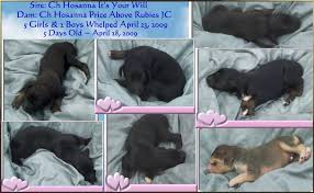 afghan hound sale aaawww afghan hound puppies litter evaluation photos champion will