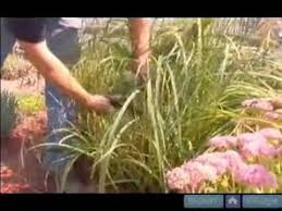 how to propagate ornamental grasses how to trim and prune