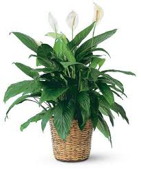 Peace Lily Plant Peace Lily Plant 10