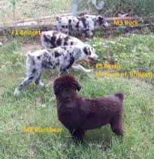 australian shepherd eyebrows aussie puppies true working dogs featuring australian shepherds