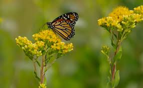 native plants for butterflies native butterfly and pollinator plant list prairie haven
