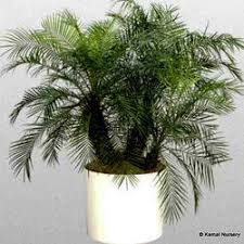 palm tree exporter from howrah