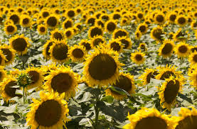 Nice Characteristic Find Peace In The Croatian Sunflower Fields Croatia Times