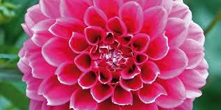 dalia in vaso fiori autunnali in vaso cose di casa