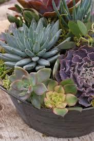 succulents meaning 124 best tema vetplant succulent images on pinterest
