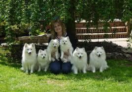 american eskimo dog breeders new england cherub u0027s toy u0026 miniature american eskimo dogs