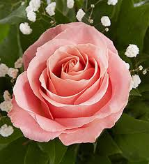 pink and roses elegance premium stem pink roses 1800flowers 90055