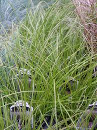 parks brothers farm wholesale plants prairie grass