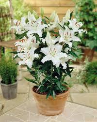 casablanca lilies casablanca lilies