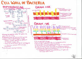 microbiology study guides cell wall microbiology and nursing