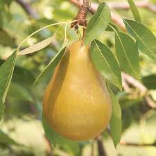 honeysweet pear tree henry field s seed nursery co