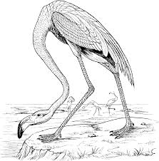 free flamingo coloring pages