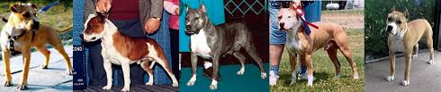 american pitbull terrier uk law the truth about pit bulls find the pit bull