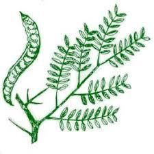 scfc tree identification for sc lobed simple leaf