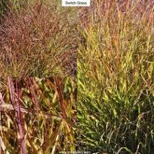 golden japanese forest grass hakonechloa macra aureola type