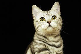 shock in cats symptoms causes diagnosis treatment recovery